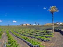 Winnicy Lanzarote Dobrzy Malvasia wina r ochraniali lawowymi powulkanicznymi kamiennymi ścianami przeciw wiatrom zdjęcia stock