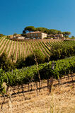 Winnicy Montalcino obraz royalty free