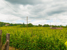 Winnicy pole na zboczu fotografia stock