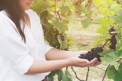 Winnicy pracownik sprawdza win winogrona w winnicy Zdjęcia Stock
