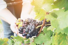 Winnicy pracownik sprawdza win winogrona w winnicy Fotografia Royalty Free