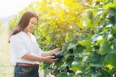 Winnicy pracownik sprawdza win winogrona w winnicy Obraz Stock