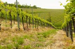 Winnicy przy Euganean wzgórzami, Veneto, Włochy podczas wiosny Fotografia Royalty Free