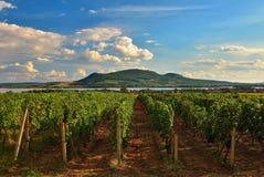 Winnicy przy zmierzchem w jesieni zbierają Dojrzałych winogrona Wino region, Południowy Moravia - republika czech Winnica pod Pal fotografia royalty free