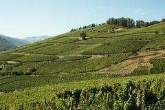 Winnicy w Alsace fotografia stock