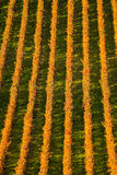 Winnicy w jesień Zdjęcia Stock