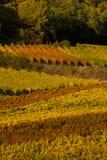 Winnicy w jesień Obraz Royalty Free