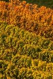 Winnicy w jesień Obrazy Stock