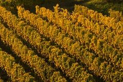 Winnicy w jesień Obraz Stock