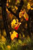 Winnicy w jesieni i zmierzchu Zdjęcie Stock