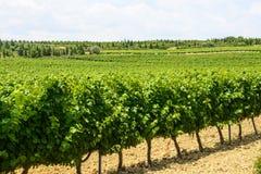 Winnicy w Languedoc Roussillon Fotografia Stock
