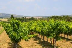 Winnicy w Languedoc Roussillon Obraz Stock
