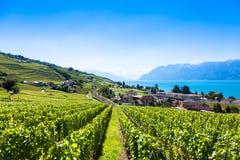Winnicy w Lavaux regionie - Terrasses De Lavaux tarasy, Switz Obraz Royalty Free
