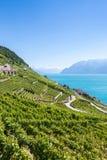 Winnicy w Lavaux regionie - Terrasses De Lavaux tarasy, Switz Zdjęcia Royalty Free