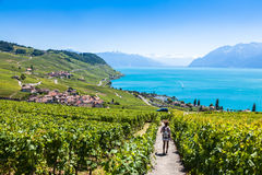 Winnicy w Lavaux regionie - Terrasses De Lavaux tarasy, Switz Fotografia Royalty Free
