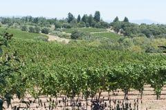 Winnicy w pobliżu Napy Kalifornia w lecie Zdjęcie Stock
