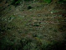 Winnicy w Ribeira Sacra Obraz Stock