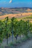 Winnicy w Tuscany Zdjęcia Stock