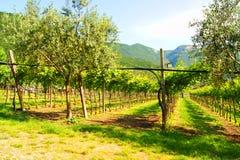 Winnicy w Włochy Obrazy Royalty Free