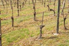 Winnicy w wiośnie Przygotowywać dla przyrosta winogrona Praca na winnicy Fotografia Royalty Free