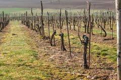 Winnicy w wiośnie Przygotowywać dla przyrosta winogrona Praca na winnicy Obraz Royalty Free