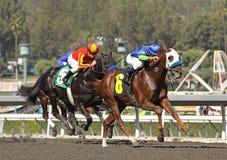 Winning a Claiming Race. ARCADIA, CA - OCT 24: Bad Boy (#6), under jockey David Flores, wins a claming race at Santa Anita Park, 10.24.09, in Arcadia, CA. Santa Royalty Free Stock Photography