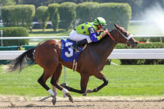 Winning Her First Race. SARATOGA SPRINGS, NY - AUG 29: Jockey Miguel Mena pilots 2-year-old filly Ausable Chasm to her first win at Saratoga Race Course on Aug royalty free stock photos