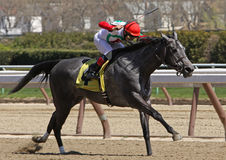 Winning Her First Race. JAMAICA, NY - APRIL 7: Silverette, under jockey Corey Nakatani, breaks her maiden at Aqueduct Race Track on April 7, 2012 in Jamaica, NY Royalty Free Stock Photos