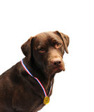 Winning labrador Royalty Free Stock Photo