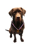 Winning labrador Stock Photos