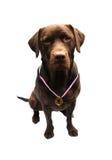 Winning labrador Stock Photos