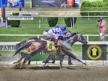 Winning Racehorse at Belmont Park royalty free stock image