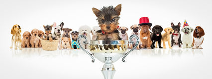 Winning yorkshire terrier in front of  dogs pack Stock Images