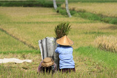 Winnowing Rice, Bali. Farmers winnowing rice in the paddy. near Ubud. Bali Indonesia Stock Photo