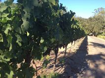 Wino kraju Kalifornia venyard Obrazy Royalty Free