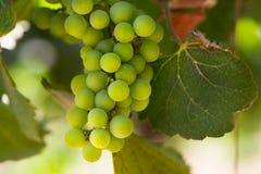 Wino uprawy Obrazy Royalty Free