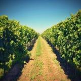 Wino w winnicy Wino region Południowy Moravia republika czech Fotografia Royalty Free