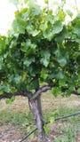 Wino winogrady Zdjęcie Royalty Free