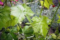 Winogradów domowi winogrona Obraz Stock
