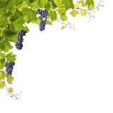 Winogradów liście odizolowywający na bielu zdjęcie royalty free