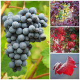 Winogradów liście w jesieni i winogrona Fotografia Stock
