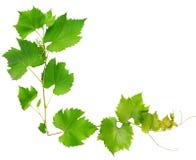 Winogradów liście Zdjęcia Stock