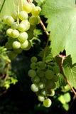 Winogradów winogrona Obraz Royalty Free