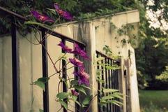 Winograd Clematis Fotografia Stock