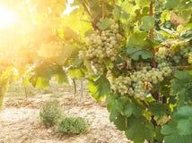 Winograd roślina i dojrzali win winogrona w winnicy zdjęcia stock