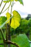 Winograd rośliny liść fotografia stock