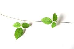 Winograd rośliny zakończenie up na białym tle Obraz Stock