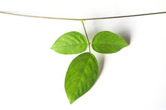 Winograd rośliny zakończenie up na białym tle Fotografia Stock