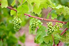 Winograd rośliny Fotografia Stock