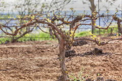 Winograd w wiośnie Fotografia Stock